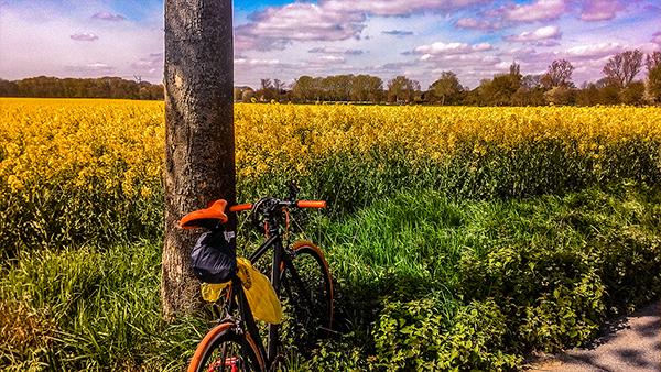 campi di colza duisburg germania ruhr coltivati giallo aprile fioritura